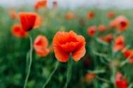 一片鲜红的罂粟花图片(12张)