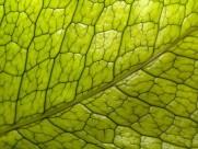 绿叶叶脉图片(20张)