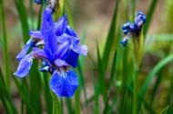蓝色鸢尾花图片(6张)