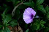 紫色牵牛花图片(17张)