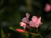 粉色夹竹桃图片(10张)
