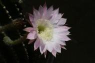 仙人掌花图片(11张)