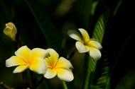 鸡蛋花花卉图片(15张)