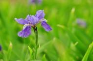 紫色的鸢尾花图片(7张)