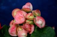 丽格海棠花卉图片(18张)