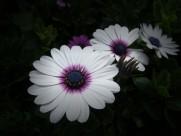 野菊花图片(11张)