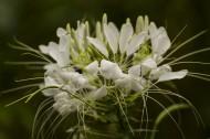 粉色和白色的醉蝶花图片(6张)