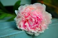 美丽的牡丹花图片(10张)