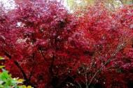 红色枫叶图片(10张)