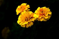 深秋独放的万寿菊图片(8张)