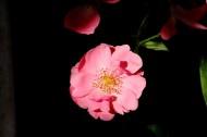 俏丽蔷薇花图片(11张)