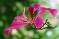粉红色紫荆花图片(13张)