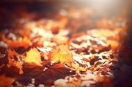 散落满地的枫叶图片(14张)