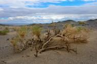 骆驼刺图片(10张)