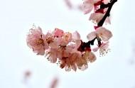 白色杏花图片(6张)