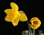 黄色水仙图片(13张)