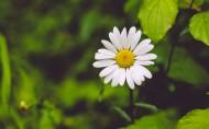 一朵雏菊图片(14张)