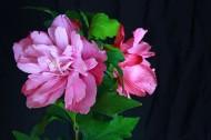 牡丹花图片(6张)