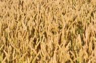 一片金黄的麦田图片(14张)