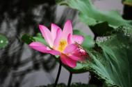 池塘里的淡雅荷花图片(9张)