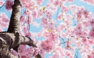 美丽绽放的樱花图片(10张)