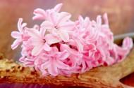 唯美粉色风信子摄影图片(17张)