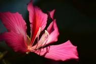 紫荆花图片   (13张)