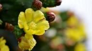 仙人掌花图片(7张)