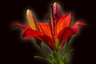 美丽的百合花图片(12张)
