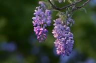 紫藤花图片(8张)