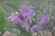 卡特兰花朵图片(9张)