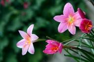 韭兰花图片(6张)