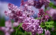 唯美的丁香花图片(17张)