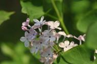 淡紫色丁香花图片(12张)