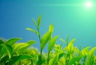 绿色茶叶植物图片(17张)