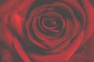 鲜红的玫瑰花图片(15张)