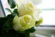 纯洁的白玫瑰图片(15张)