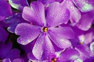 美丽的丁香花图片(11张)