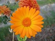 橙色金盏花图片(14张)