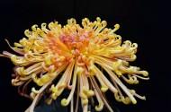 宜宾艳丽的菊花图片(14张)