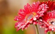 各种颜色的非洲菊花卉图片(14张)