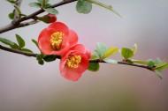 红色海棠花图片(11张)