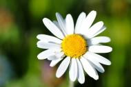 白色雏菊花卉图片(22张)