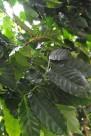 咖啡植物图片(2张)