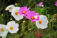 清新波斯菊花卉图片(11张)