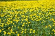 黄色水仙花图片(10张)