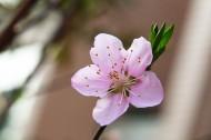 桃花图片(10张)