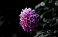 粉色大丽菊图片(11张)