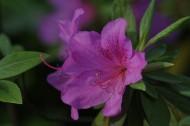 杜鹃花图片(10张)