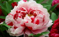 高贵的牡丹花图片(15张)